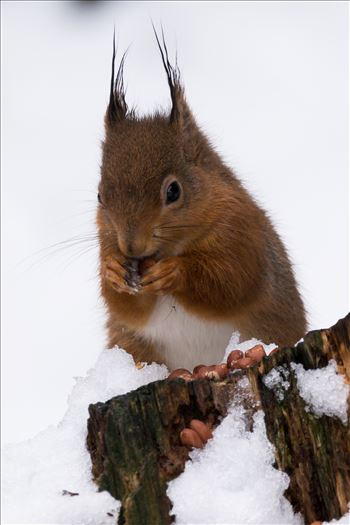 Red Squirrel in the Snow by AJ Stoves Photography