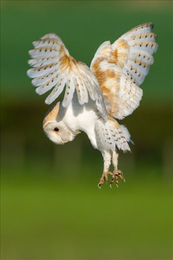 Barn Owl on the hunt 01 by AJ Stoves Photography