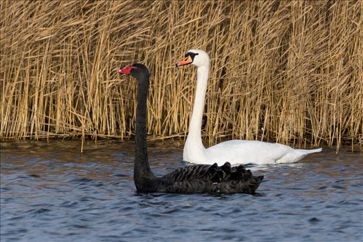 Black and White Swan RSPB Saltholme by AJ Stoves Photography