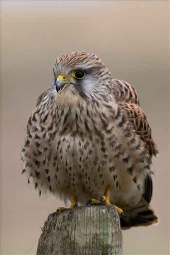 Female Kestrel by AJ Stoves Photography