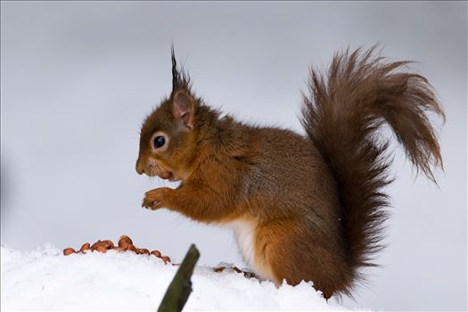 Red Squirrel and the Snow by AJ Stoves Photography