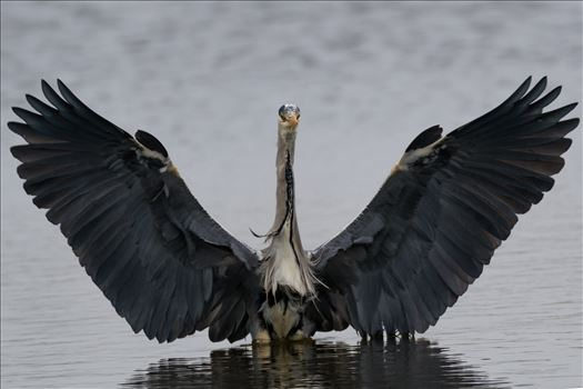 Grey Heron coming in to land at RSPB Saltholme by AJ Stoves Photography