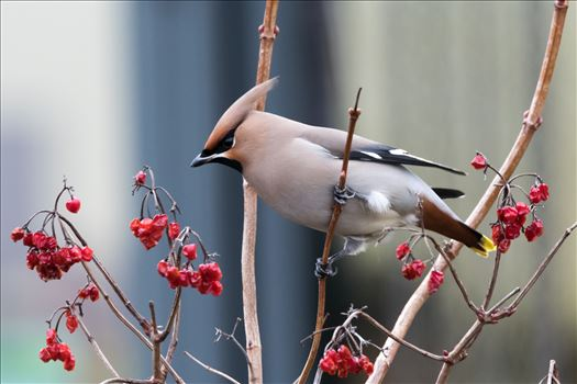 Waxwing RSPB Saltholme by AJ Stoves Photography
