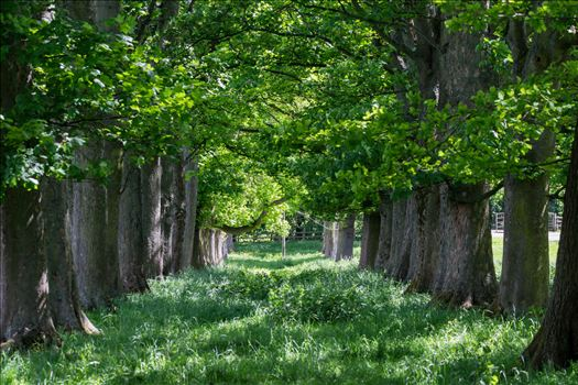 Summer Avenue of Tree's by AJ Stoves Photography