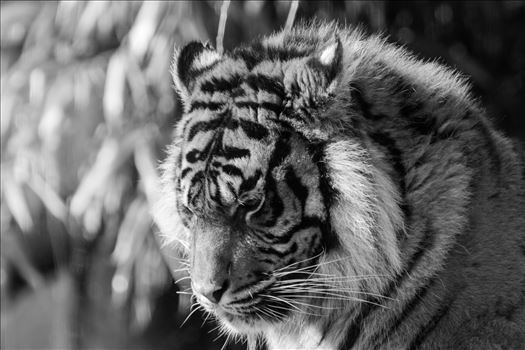 Grumpy Tiger. Taken at South Lakes Safari Zoo by AJ Stoves Photography