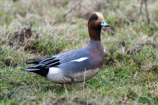 Wigeon, Taken at North Gare, Seaton by AJ Stoves Photography