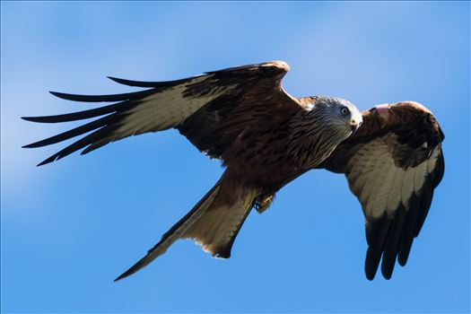 Red Kite on the Wind by AJ Stoves Photography