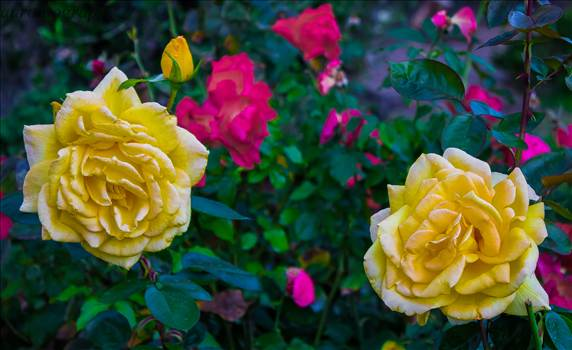 PINK SURROUNDED BY YELLOW.JPG - undefined