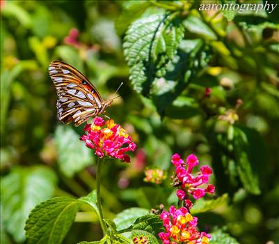 Butterfly and green.jpg by Aaron