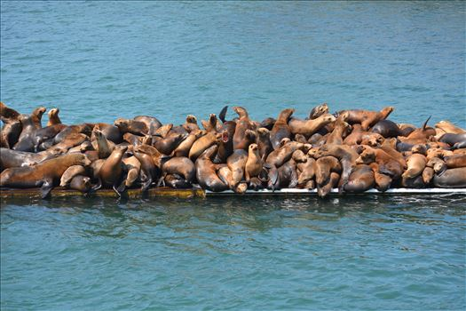 Funny Joke: Seal Pile at Monterey Harbor by Bridget Oates Photography