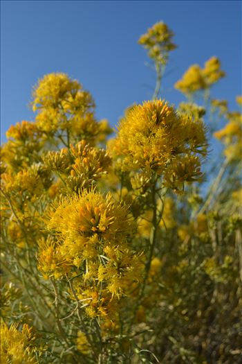 Mono Lake Mustard Flowers by Bridget Oates Photography