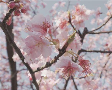 plum blossom 2.JPG by Goomba707