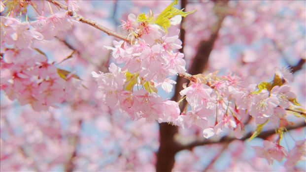 plum blossom.JPG by Goomba707