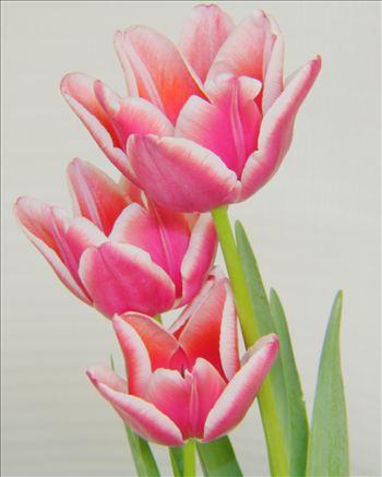 tulip2.JPG by Goomba707