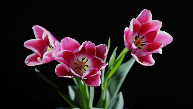 tulip1.JPG by Goomba707