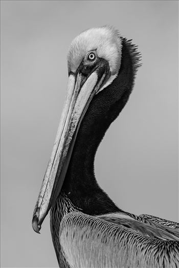 Portrait of K15, a Brown Pelican by Denise Buckley Crawford