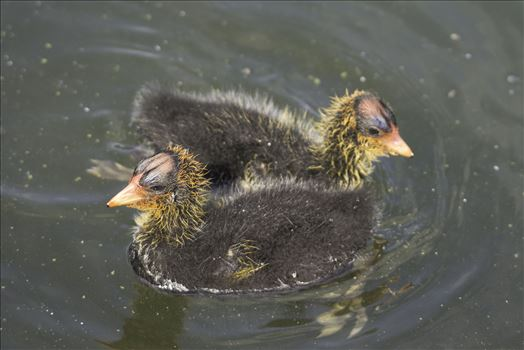 Coot Chicks by Denise Buckley Crawford