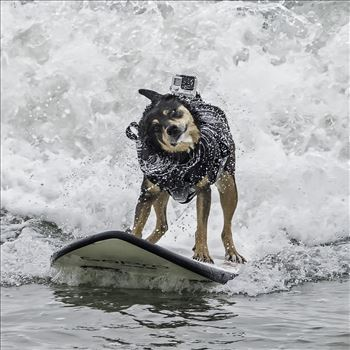 Abby, World Champion Dog Surfer by Denise Buckley Crawford