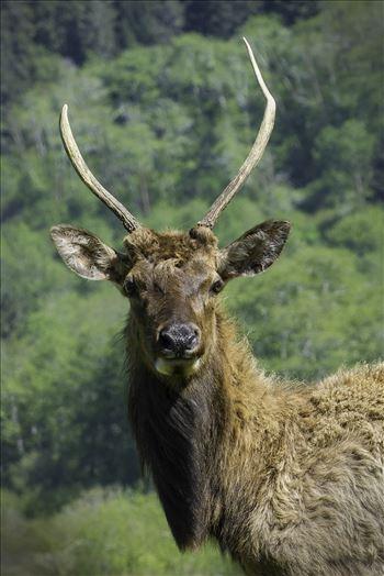 Yearling Elk by Denise Buckley Crawford