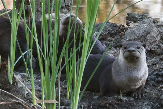 A Wary Otter by Denise Buckley Crawford