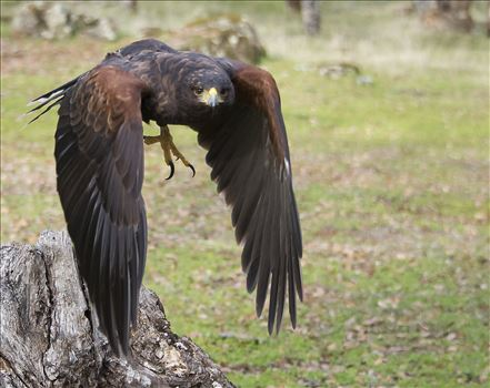 Harris Hawk by Denise Buckley Crawford