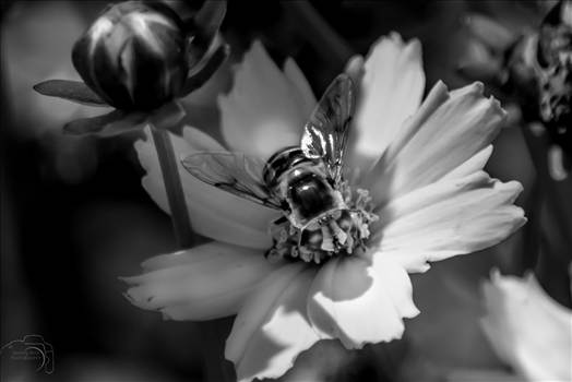 Bumble Bee.jpg by Dennis Rose