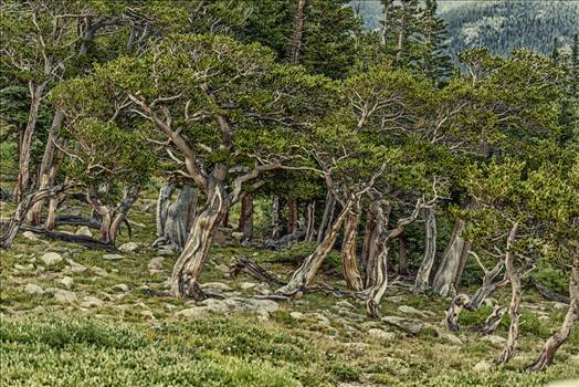 Mt Evans high elevation Forest.jpg by Dennis Rose