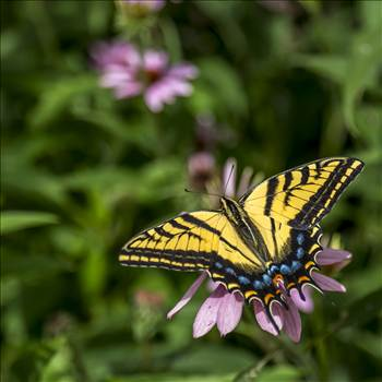 Swallowtail Butterfly.jpg by Dennis Rose