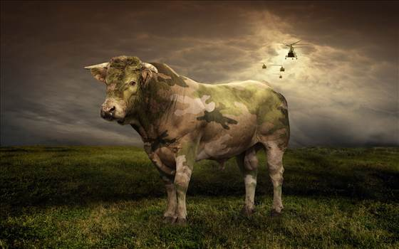 Military-cow.jpg by Frank Bell