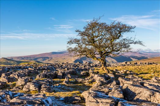 Lone Tree at Winskill Stones by Tony Keogh Photography