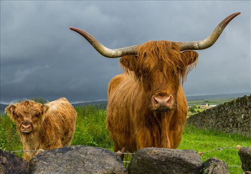 Scottish Highland Cattle by Tony Keogh Photography