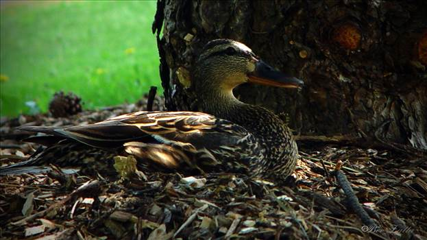 8240 duck close log mar 17 2016.jpg by WPC-156