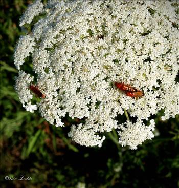 bugs on queen anne floral.jpg by WPC-156
