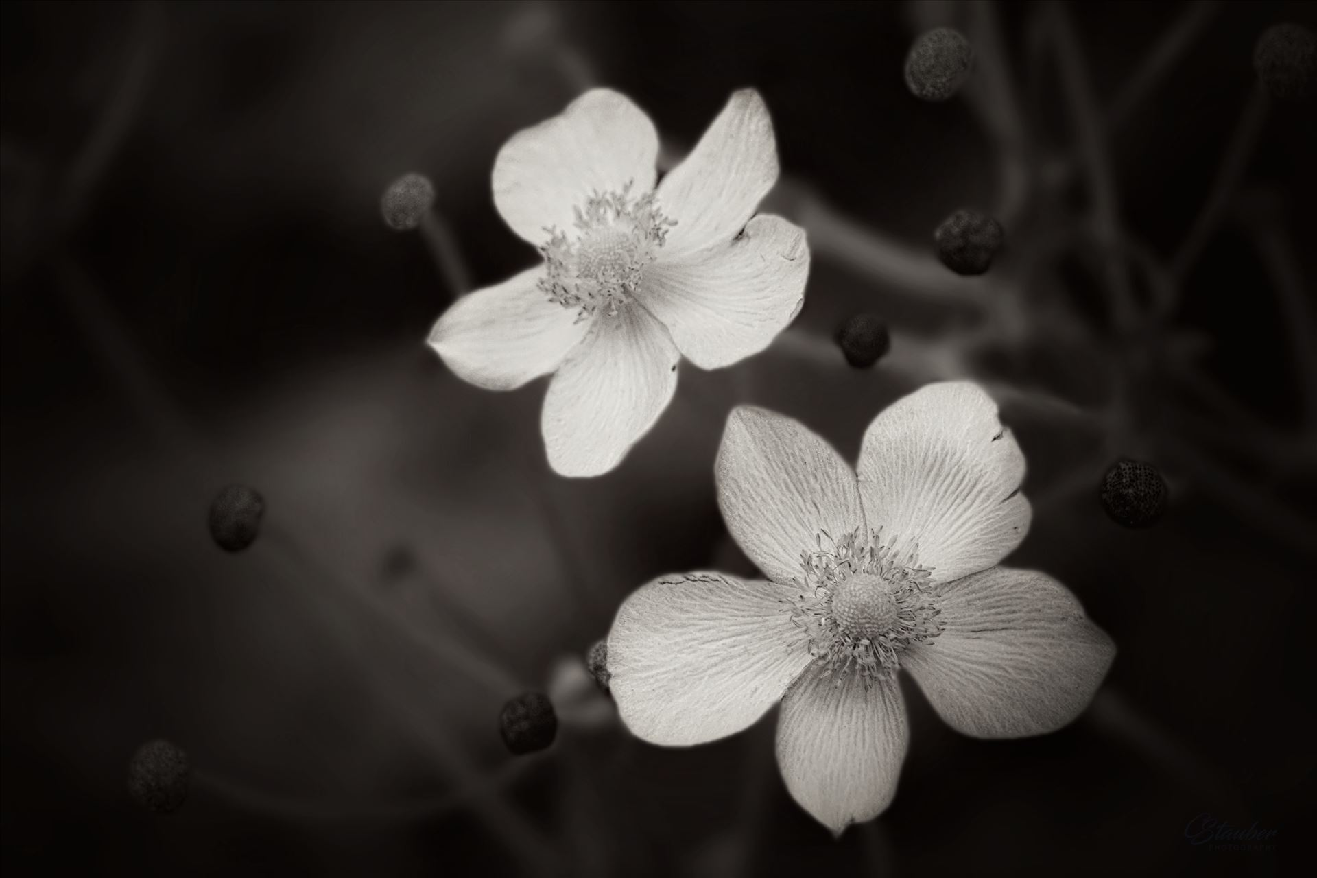 White flowers  by CLStauber Photography