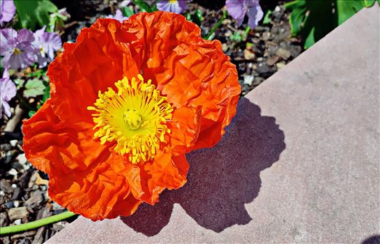 Poppy by CLStauber Photography