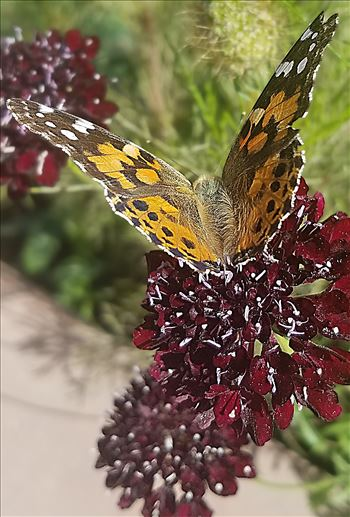 00-paintedlady-purplflower20170930_111621_pe.jpg by CLStauber Photography