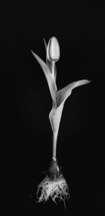 Single Yellow Tulip - Monochrome by CLStauber Photography