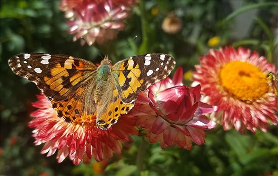 00-strawflower-butterfly-20170930_112623-A.jpg by CLStauber Photography