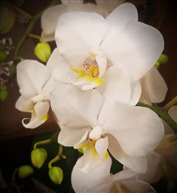 White Orchid by CLStauber Photography