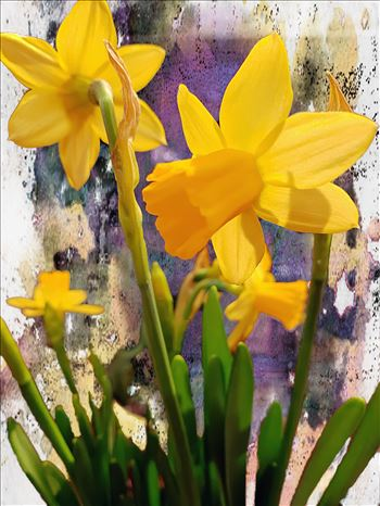 Daffodils by CLStauber Photography