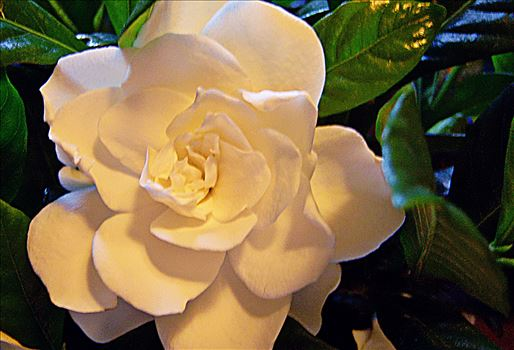 00-Gardenia-100_0805_A.jpg by CLStauber Photography