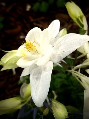 00-white-columbine20170205_143751A.jpg by CLStauber Photography