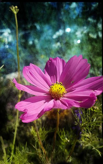 00-pinkcoreopsis-20170930_A.jpg by CLStauber Photography