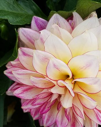 02-pink-dahlia-20170916_153120_A.jpg by CLStauber Photography