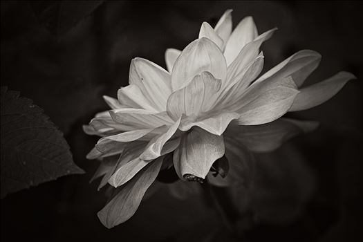 Dahlia - monochrome by CLStauber Photography