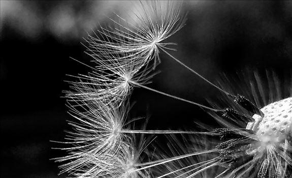 Dandelion20170520_132654_monochrome.jpg -
