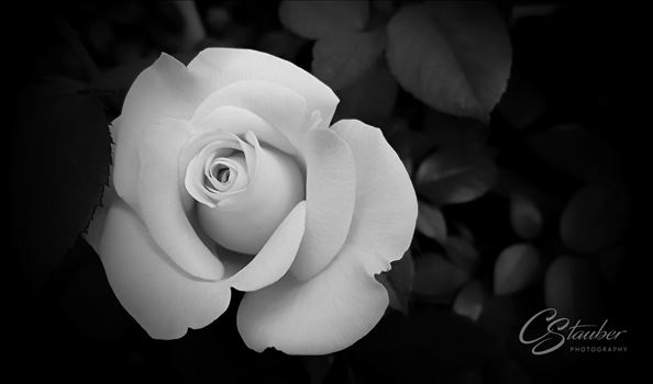 perfect Rose by CLStauber Photography