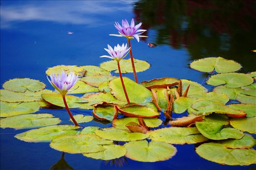 Water Lilies by CLStauber Photography