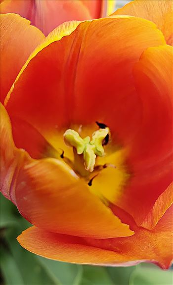 Tulip Macro by CLStauber Photography