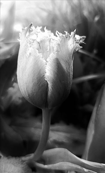 00-monochrome-purple-tulip-20170503_182937A.jpg by CLStauber Photography